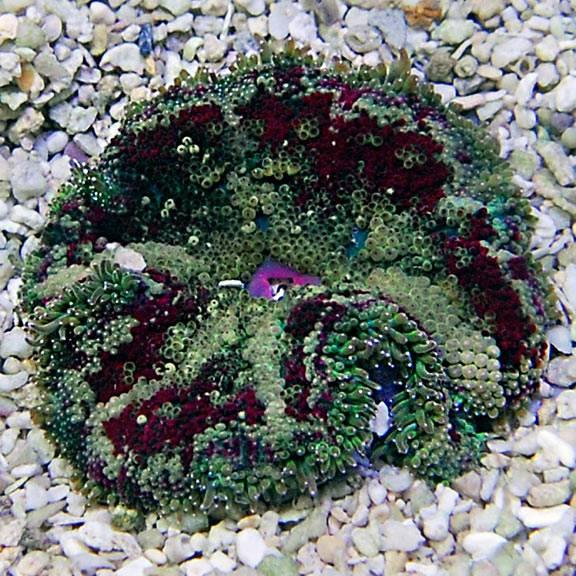 ) Species Profile, White Carpet  Anemone, (Stichodactyla sp