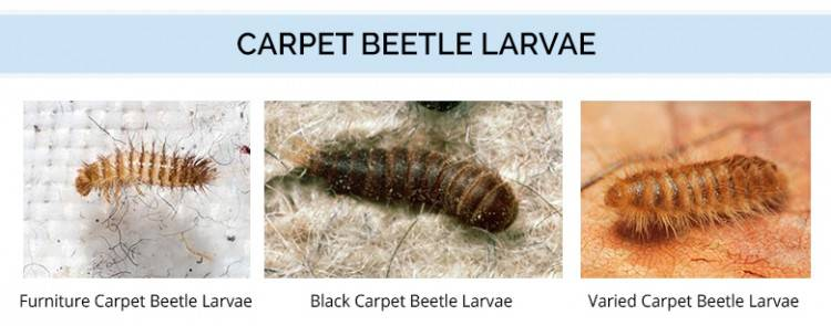 Adult Carpet Beetles are not the real problem with this common type of pest  as they tend to live outside