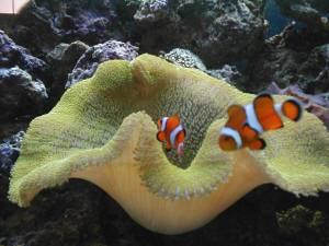 The gigantic carpet anemone occurs
