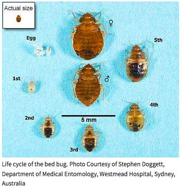 live bedbug shedding
